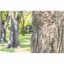 Tabebuia Aurea Tree