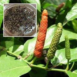 Piper Retrofractum Seed