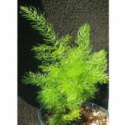 Green Shatavari Plant, Packaging Type: Packet