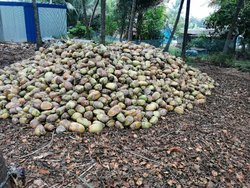 A Grade Pollachi Green coconut, Tamil Nadu, Packaging Size: loose load