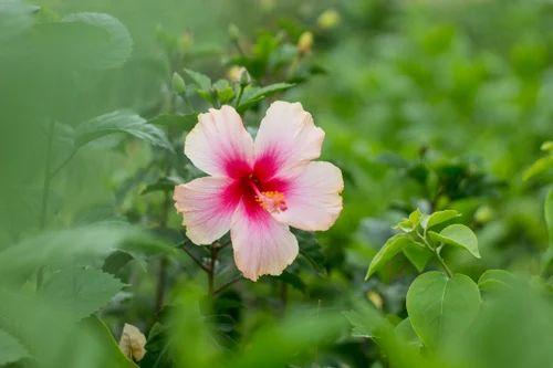 Hibiscus Chinese Hibiscus Rose Mallow Shoe Flower गडहल
