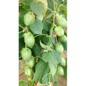 Pandav Hybrid Cotton Seeds