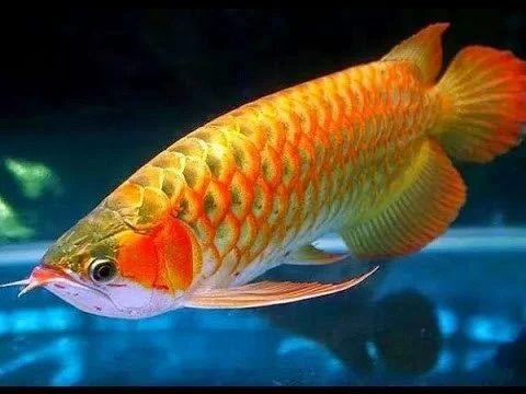 Arijuana fish