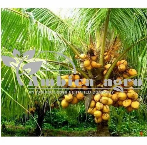 FRUIT PLANTS - APPLE BER PLANTS Manufacturer from Anand