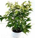 Ficus Benjamina Varigated Mini Indoor Plant