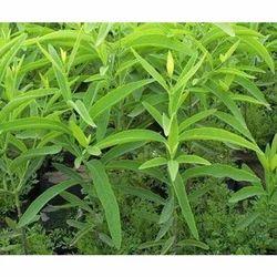 Garden Sandalwood Plant