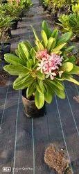 Singapore plumeria plants