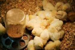 Newborn Broiler Chicks