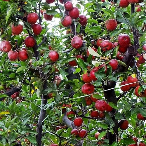 Images Of Apple Trees In Kashmir