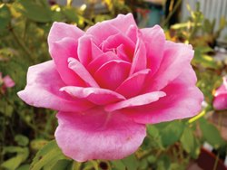 Floral Hydrosols