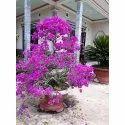 Bougainvillea Plant