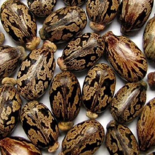 Castor Oil Seeds, For Beans And Sesame, Rs 50 /kilogram Kesco Organics  Exports | ID: 3003452688