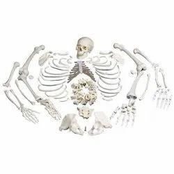 Disarticulated Bone Set for Medical Students