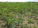 Agathi Seeds