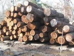 7 Feet - 20 Feet Round Walnut Wood Logs