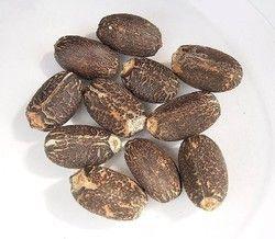 Ratanjot Seeds - Jatropha Seeds - Jatropha Curcus
