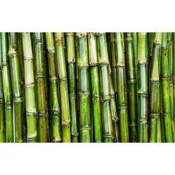 Sugarcane - Wholesale Price for Sugar Cane in India
