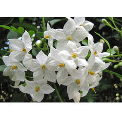 Jasmine Grandiflorum Attar Oil
