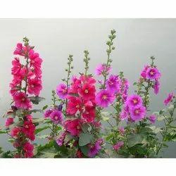 Hollyhock Flower Seeds