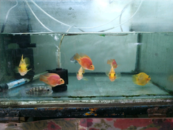 Parrot Red & Yellow Fish