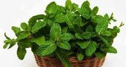 Pudina (Mint)Extract