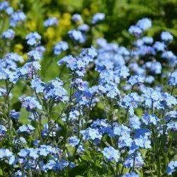 Blue Cynoglossum Seeds