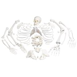 Disarticulated Bone Set for Medical Students
