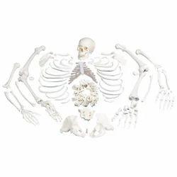 PVC Disarticulated Bone Set Model