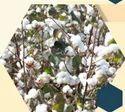 932 EXL Cotton Seeds