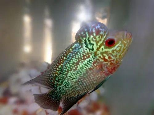 Flowerhorn Baby Fish