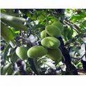 Amrapali Mango Plants