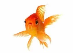Gold Fishes in Howrah - Latest Price & Mandi Rates from Dealers in