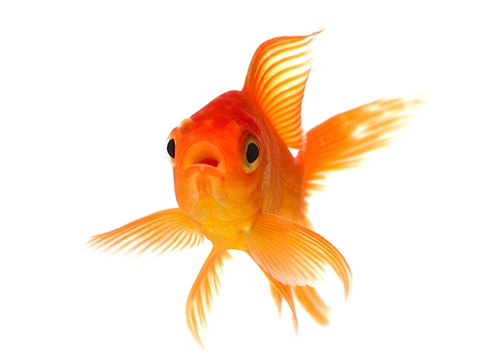 Aquarium Fishes - Gappi Fish Wholesale Supplier from Howrah