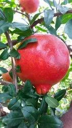 Organic bhagwa pomegranate fruit plant
