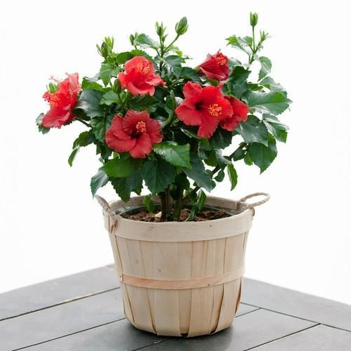 Hibiscus Flower Plant At Rs 120 Piece Flowering Plant Id