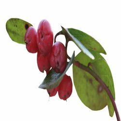 Winter Green Oil (Gaultheria Frgrantissim Wall)
