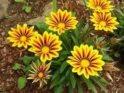Gazania Plant