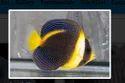 Potters Angelfish