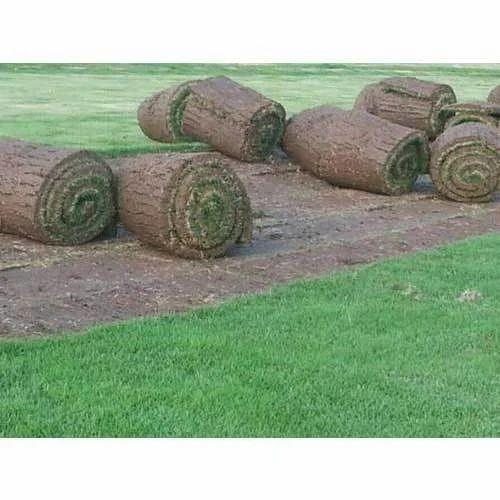 Green Grass - Korean Grass Manufacturer from New Delhi