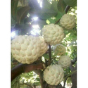 Golden Custard Apple Plant