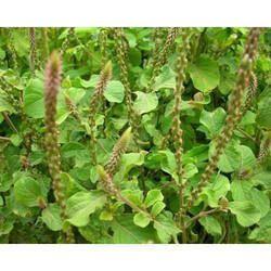 Onosma Bracteatum Powder