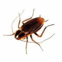 Cockroaches Pest Control, Kolkata & Hooghly