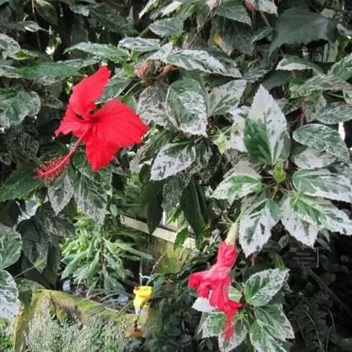 Hibiscus Snowflake Plant Chinese Hibiscus Rose Mallow Shoe Flower