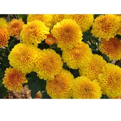 Bhakti Bronze Chrysanthemum Plants