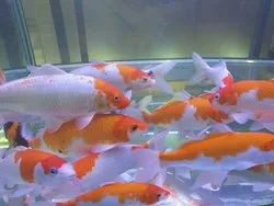 IMPORTED JAPANESE KOI FISH