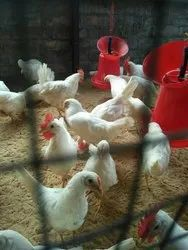 White Leghorn, Age: Day Old, Packaging Type: Carton Box