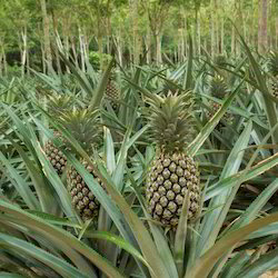 Pineapple Processing Plant Consultancy Services