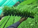 Green Syngonium Net Pot