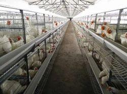 Broiler Breeder Cage