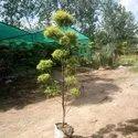 Green Full Sun Exposure 6 Feet Golden Bottle Brush Plants